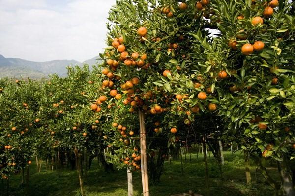 สวนส้มธนาธร
