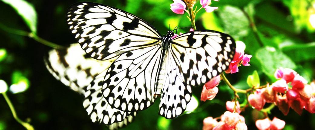phuket butterfly